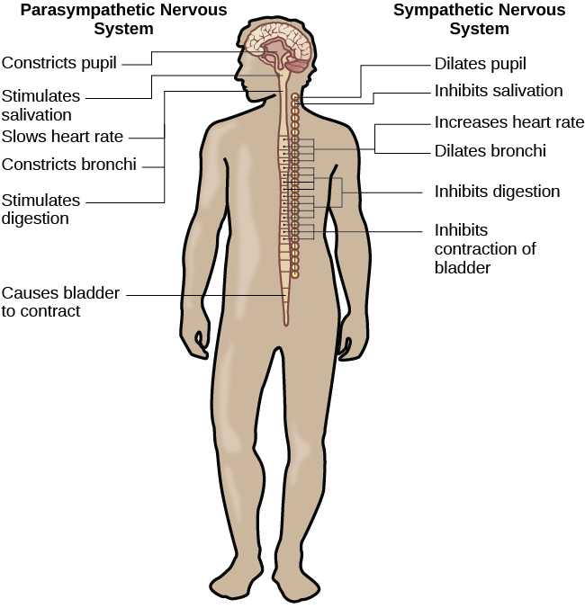 A diagram of a human body lists the different functions of the sympathetic and parasympathetic nervous system. The parasympathetic system can constrict pupils, stimulate salivation, slow heart rate, constrict bronchi, stimulate digestion, stimulate bile secretion, and cause the bladder to contract. The sympathetic nervous system can dilate pupils, inhibit salivation, increase heart rate, dilate bronchi, inhibit digestion, stimulate the breakdown of glycogen, stimulate secretion of adrenaline and noradrenaline, and inhibit contraction of the bladder.