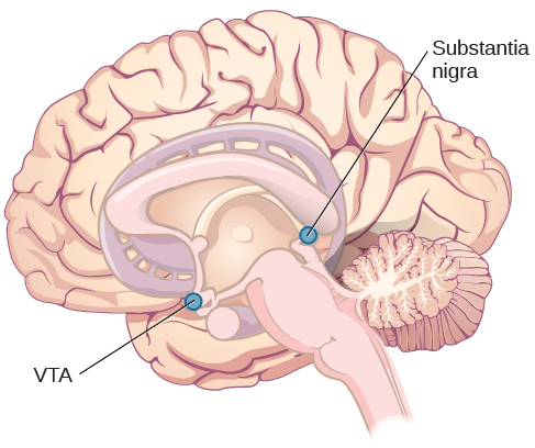 An illustration shows the location of the substantia negra and VTA in the brain.