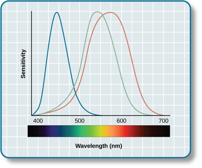 """A graph is shown with """"sensitivity"""" plotted on the y-axis and """"Wavelength"""" in nanometers plotted along the x-axis with measurements of 400, 500, 600, and 700. Three lines in different colors move from the base to the peak of the y axis, and back to the base. The blue line begins at 400 nm and hits its peak of sensitivity around 455 nanometers, before the sensitivity drops off at roughly the same rate at which it increased, returning to the lowest sensitivity around 530 nm . The green line begins at 400 nm and reaches its peak of sensitivity around 535 nanometers. Its sensitivity then decreases at roughly the same rate at which it increased, returning to the lowest sensitivity around 650 nm. The red line follows the same pattern as the first two, beginning at 400 nm, increasing and decreasing at the same rate, and it hits its height of sensitivity around 580 nanometers. Below this graph is a horizontal bar showing the colors of the visible spectrum."""