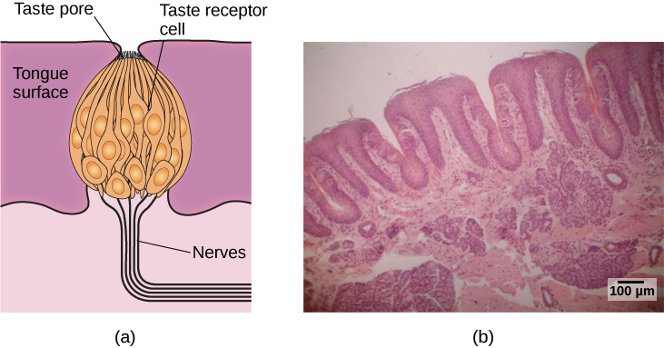 "Illustration A shows a taste bud in an opening of the tongue, with the ""tongue surface,"" ""taste pore,"" ""taste receptor cell"" and ""nerves"" labeled. Part B is a micrograph showing taste buds on a human tongue."