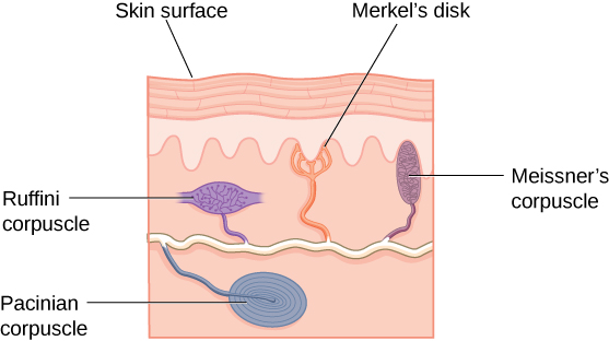 "An illustration shows ""skin surface"" underneath which different receptors are identified: the ""pacinian corpuscle,"" ""ruffini corpuscle,"" ""merkel's disk,"" and ""meissner's corpuscle."""